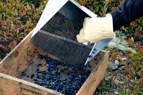 A raker dumping a rakeful of berries into a wooden box.