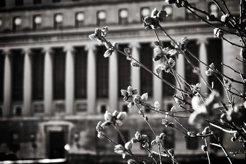 A column-fronted building at Columbia University, with a budding tree in the foreground.