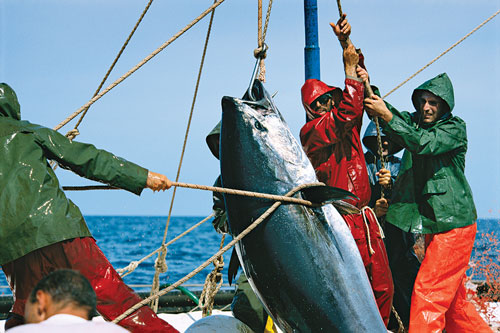 A crew of fishermen hoists a giant bluefin tuna aboard their boat.