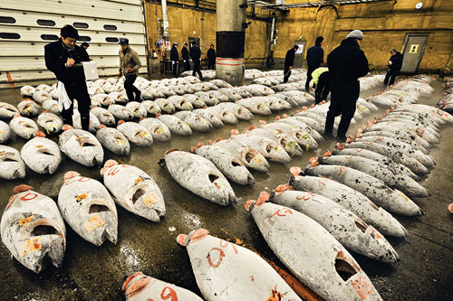 The Tsukiji fish market. Here, frozen bluefin tuna arranged in rows on the ground are being auctioned.