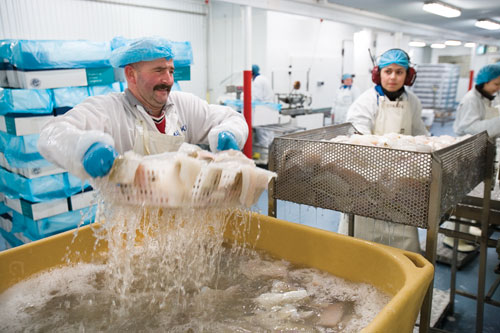 Dariusz 'The Soldier' Putkowski, one of Bolungarvík's many Polish guest workers, lifts brined cod out of a holding box.