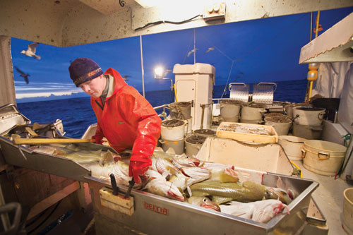Leifur 'Toti' Sigurgeirsson retrieves a knife to cut the throats of fresh-caught cod.