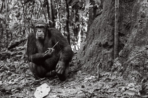 A chimpanzee in the Goualougo Triangle, part of Ndoki National Park in the Republic of Congo, holds a puncturing tool.