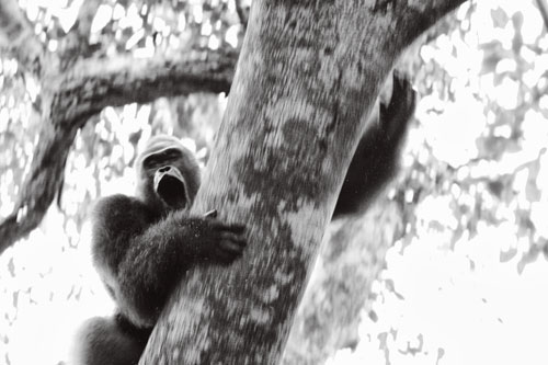 A silverback gorilla barks and slides down a tree at the sight of researchers.