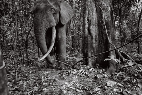 A forest elephant triggers a camera trap at a fruiting tree.