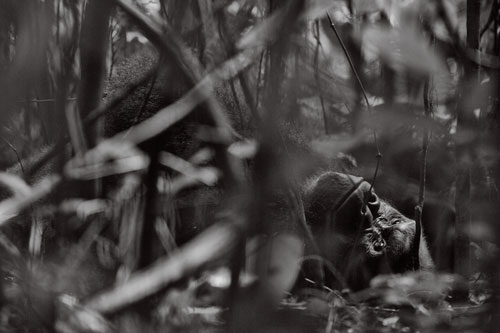 Kingo reclines in the undergrowth of the jungle during the hottest part of the day.
