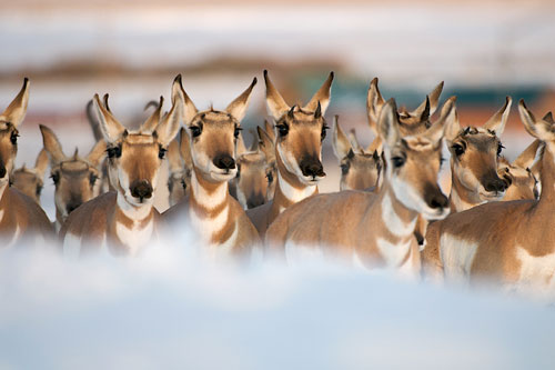 A band of pronghorn, mainly does, migrating south for the winter.