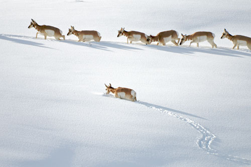 A group of pronghorn walking in a deep snow drift.