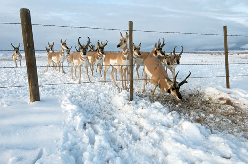 A band of southbound pronghorn stoop under a barbed wire fence.