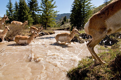 A band of pronghorn migrating through the Gros Ventre Mountains of western Wyoming, crossing a river deepened with the runoff of melting snow.