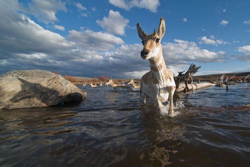 Pronghorn migrating through the Green River in western Wyoming.