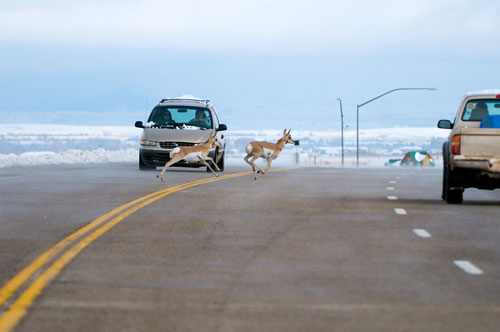 Pronghorn crossing Highway 191 near the town of Pinedale, Wyoming.