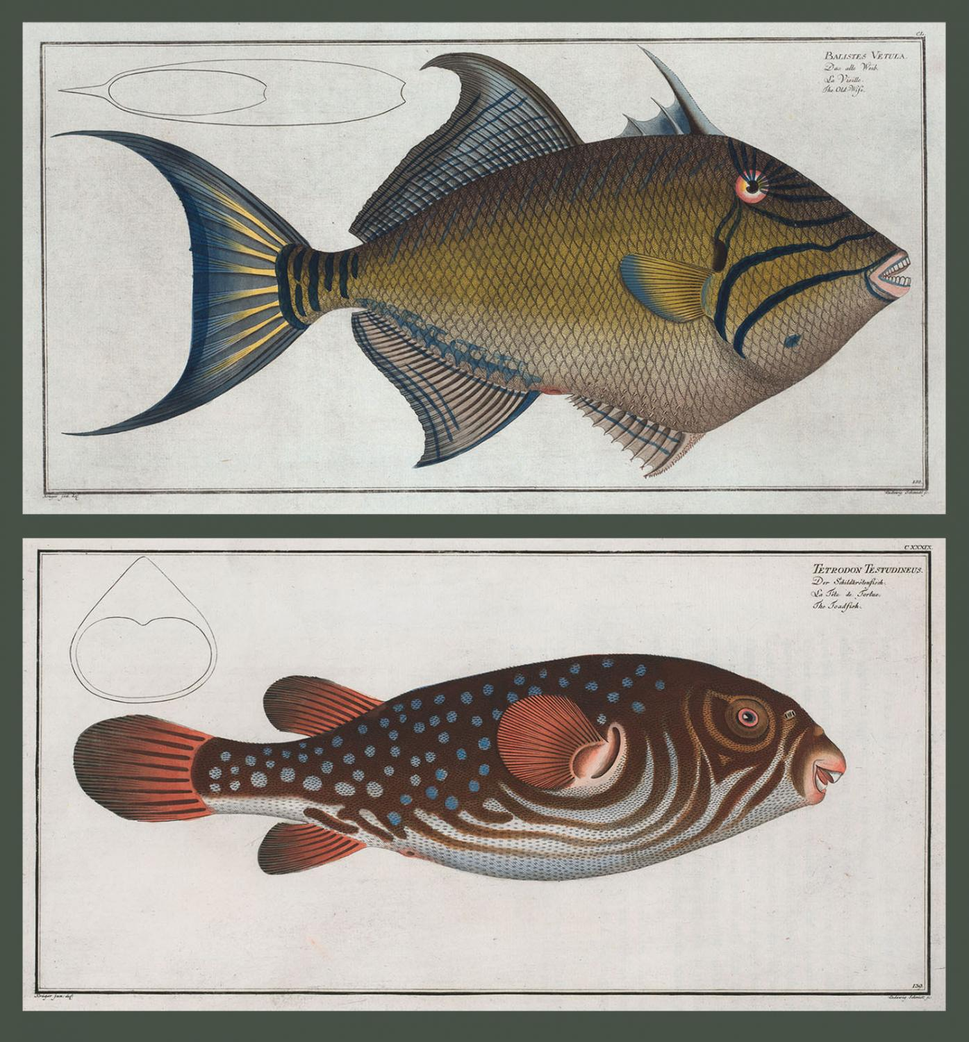 <i>Balistes Vetula, The Old-Wife</i>. Bottom: <i>Tetrodon Testudineus, The Toadfish</i>. (Courtesy Rare Book Division, The New York Public Library, Digital Collections.)