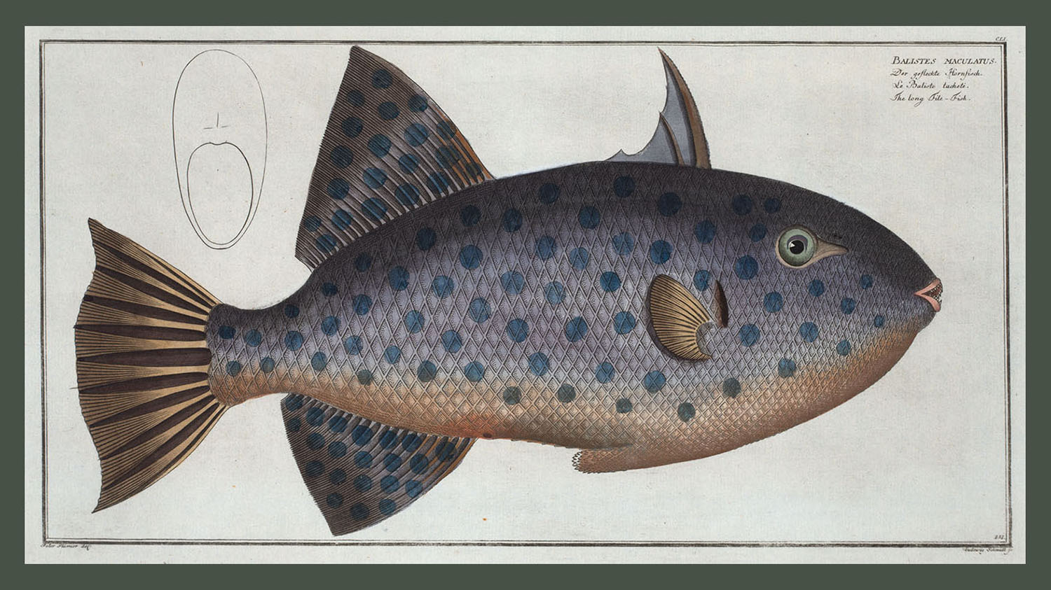 <i>Balistes maculatus, The long File-Fish</i>. (Courtesy Rare Book Division, The New York Public Library, Digital Collections.)