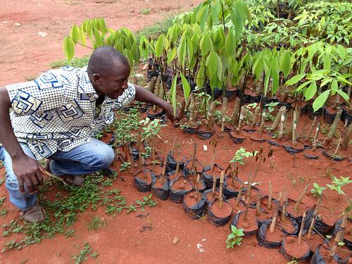 A cocoa farmer in Ivory Coast inspects his seedlings. Photo by Kelsey Timmerman