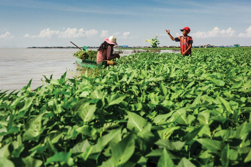 Harvesting morning glories along Lake Tonle Sap, Kampong Luong. (Luc Forsyth/Ruom)