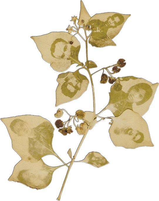 Binh Danh, <i>The Leaf Effect: Study for Transmission #2</i>. Photographic negative on leaf.