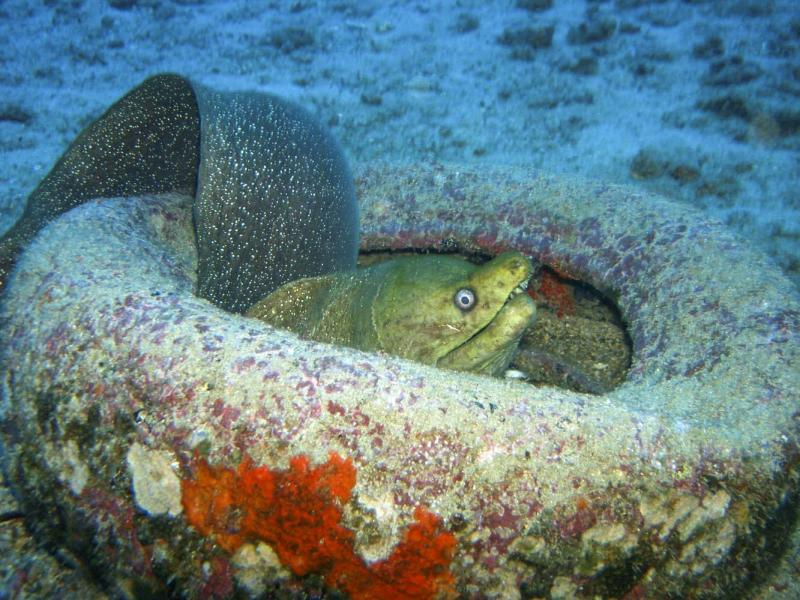 Green moray eel adopting an old tire as home, Galapagos Island, 2006.