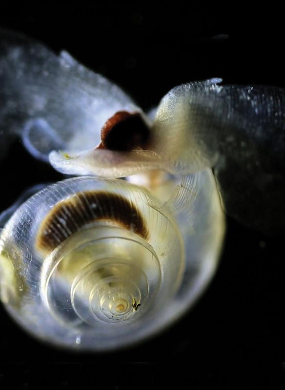 A pteropod known as Limacina helicina, from the waters of the East Pacific. (Nina BednarŠek, NOAA)