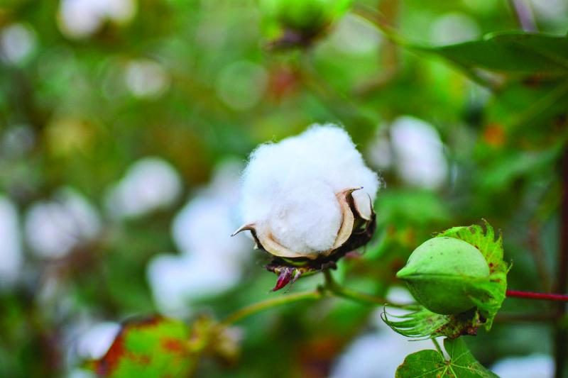 An early, opened cotton boll, about a month before harvesting. Yazoo City, MS, September 2013.