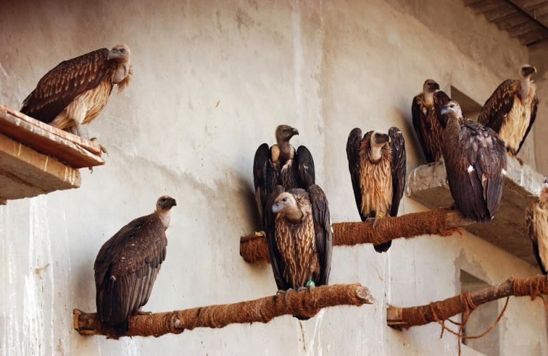 Long-billed vultures perch on concrete ledges and jute-wrapped poles in one of the aviaries at Pinjore. The enclosures are too small for the birds, some with wingspans of up to eight feet, to fly as they would in the wild.