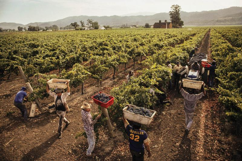 Harvesting of red-grape varieties in Napa Valley, CA. (©Peter Menzel / www.menzelphoto.com)