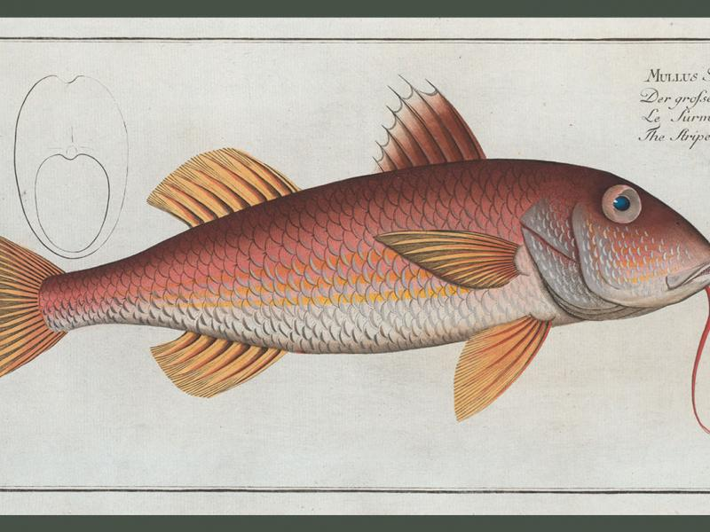 <i>Mullus Surmuletus, The Striped Surmulet</i>. (Courtesy Rare Book Division, The New York Public Library, Digital Collections.)