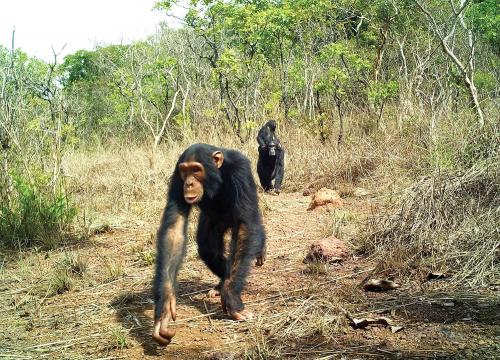 Eastern chimpanzee in Chinko by Aebischer
